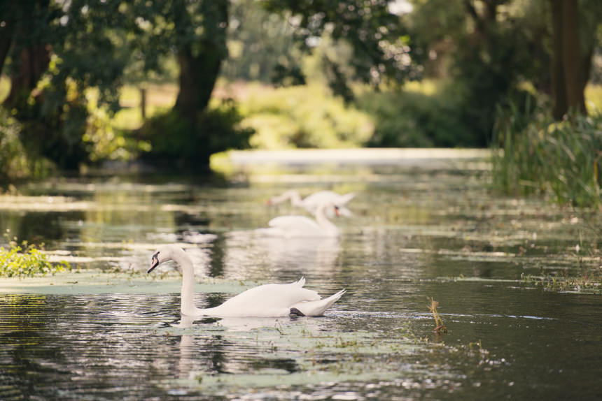 swans at Easton Grange